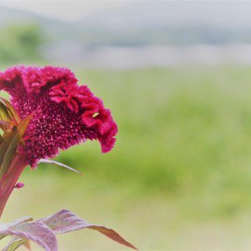 大武壠民族植物誌 40/ 雞冠花