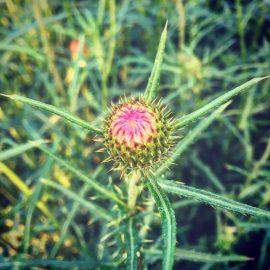 菊科薊屬植物好多元繽紛
